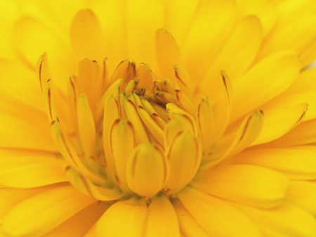 pot marigold photo