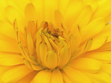 pot marigold: pot marigold