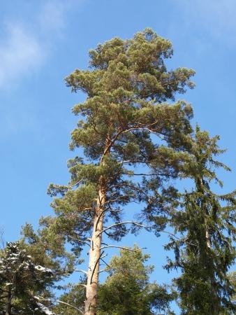 scots: Scots pine tree Stock Photo