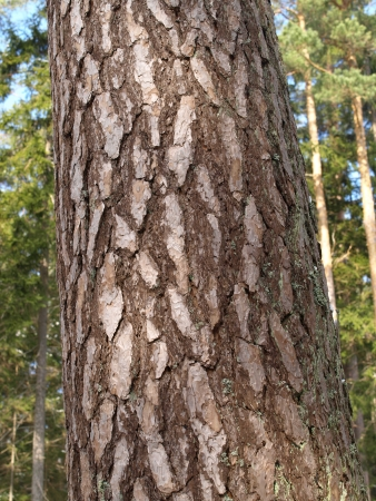scots pine: bark from scots pine tree Stock Photo