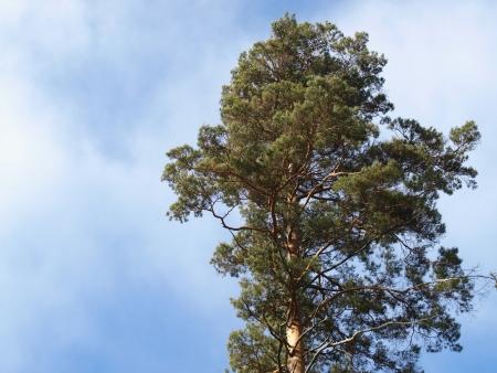 scots: scots pine tree