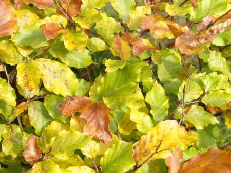 autumn colour: beech leaves in autumn colour Stock Photo