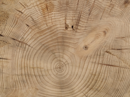 slice from a fir tree photo