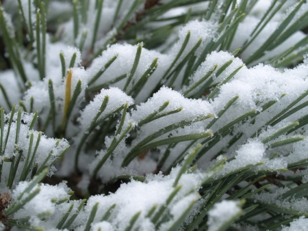 scots pine: Scots pine tree with snow Stock Photo