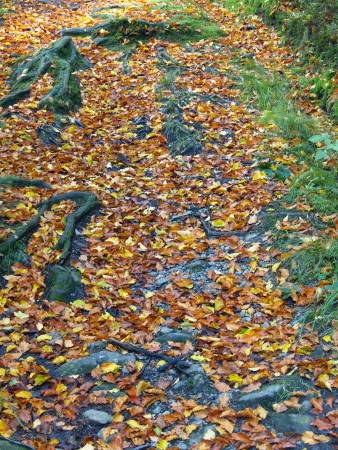 autumnally: wood way with roots and autumnal leaves Stock Photo