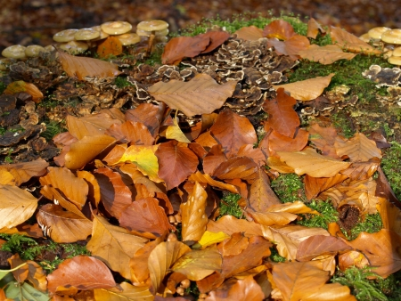 versicolor: stump with sheathed woodtuft, coriolus versicolor and leaves in autumn Stock Photo