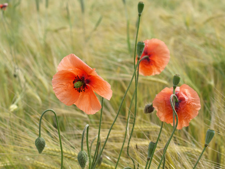 Barley field with red corn poppy  photo