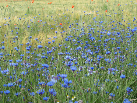 german chamomile: Barley field with cornflowers and corn poppy Stock Photo