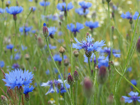 cornflowers in a field photo