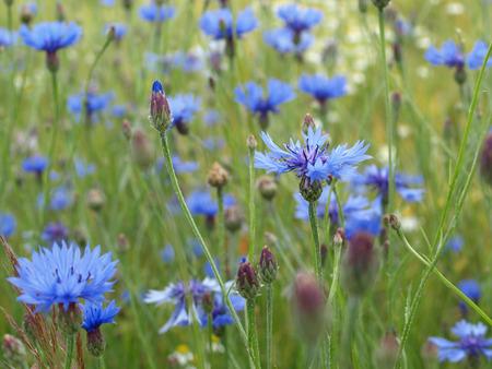 cornflowers in a field photo