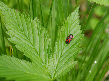 insecta: froghopper on a blackberry leaf