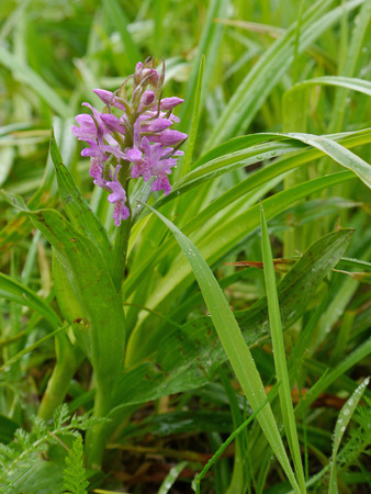 leaved: broad - leaved arsh orchid with bloom Stock Photo