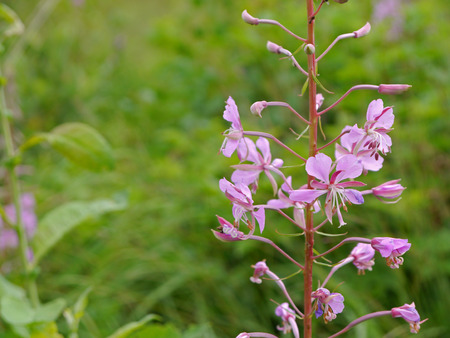 fireweed: blooms from fireweed Stock Photo
