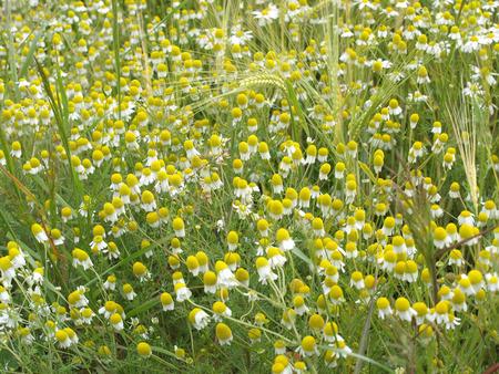 German chamomile in a barley field photo