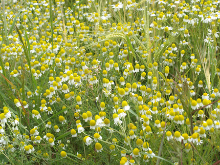 matricaria recutita: German chamomile in a barley field