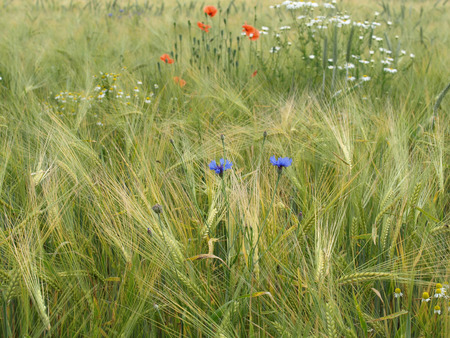 german chamomile: Barley field with cornflowers, corn poppy and german chamomile
