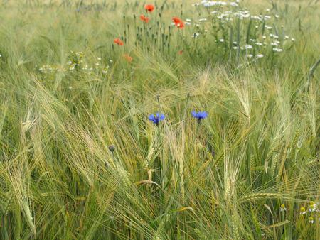 matricaria recutita: Campo d'orzo con fiordalisi, mais papavero e camomilla tedesco