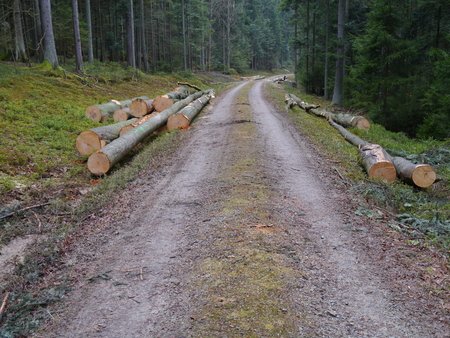 timberland: forestry, cut beech trees near a dirt road