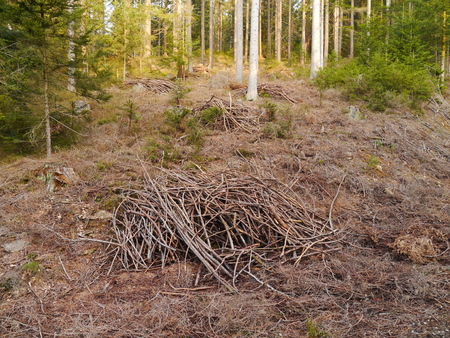 timberland: forestry, firewood branches at piles Stock Photo