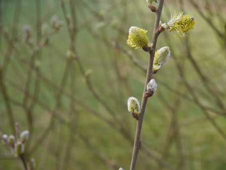 great sallow: male catkins from a goat willow