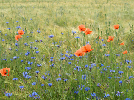 Barley field with cornflowers, corn poppy and german chamomile photo