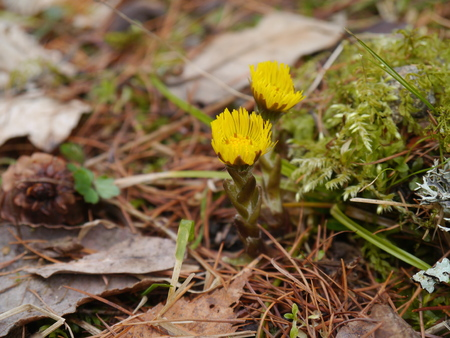 coltsfoot flowers in spring photo
