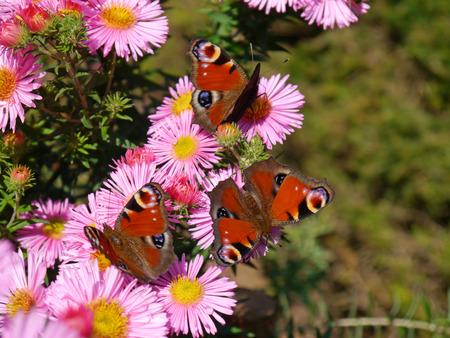 European peacock butterflies on asters photo