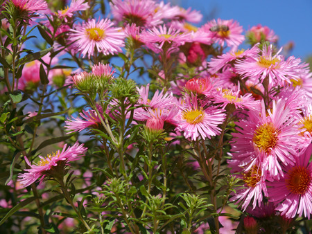 autumnally: asters and blue sky