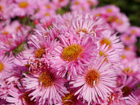 autumnally: asters