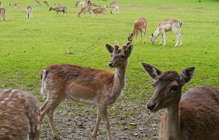 ruminate: Fallow deer