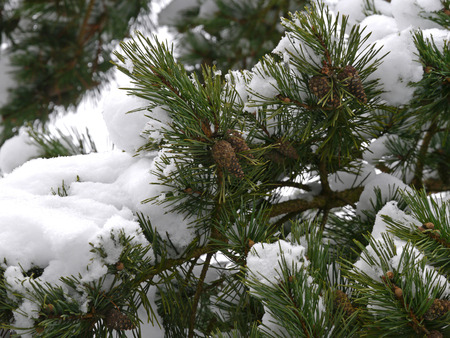scots pine: Scots pine with snow