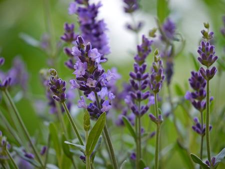 fragrant scents: Lavender Lavandula angustifolia