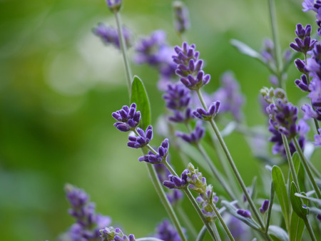 lavandula: Lavender Lavandula angustifolia
