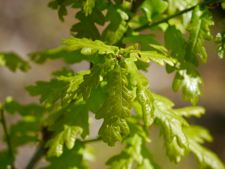 quercus robur: leaves from a english oak