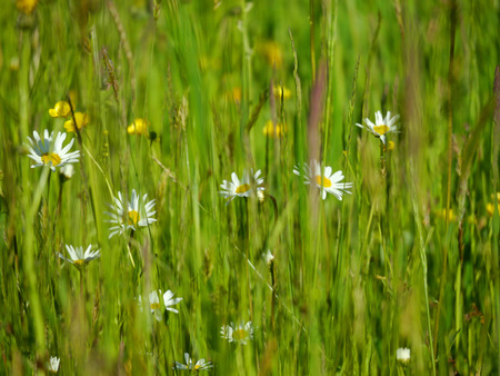 oxeye: ox-eye daisies on a flower meadow Stock Photo