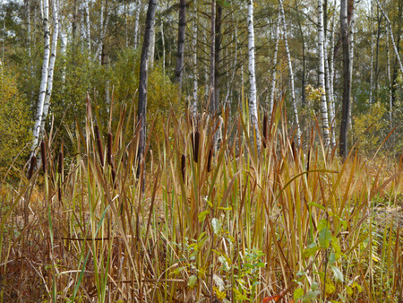 bulrushes: bulrushes in a highmoor in autumn