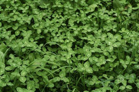 Beautiful field of lush green clovers. photo