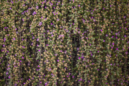 small purple flowers climbing the wall Stockfoto