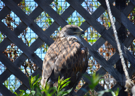 redtail: A Red-tail Hawk resting in their pen