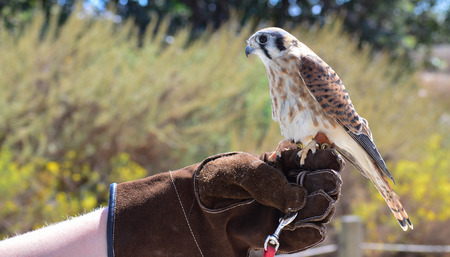 A Kestrel fluffing their feathers while being held on a glove