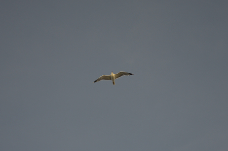 A lone seagull in the grey sky.