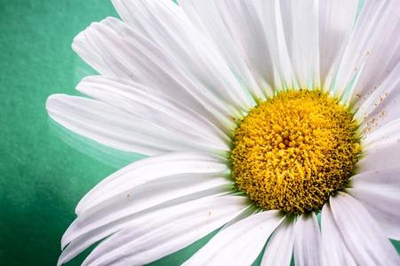 marguerite: Gros plan d'un blanc de fleur de marguerite sur fond vert