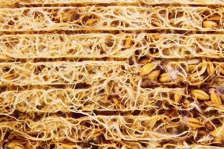 grass roots: Nice wheat germs closeup grass roots texture