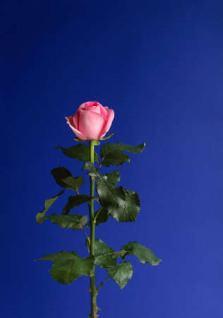 Beautiful pink rose on a blue background photo