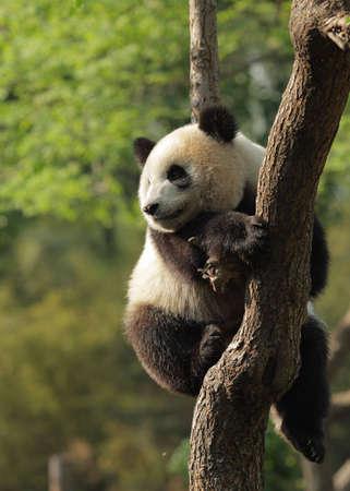 panda bear: Cute young panda sitting on a tree