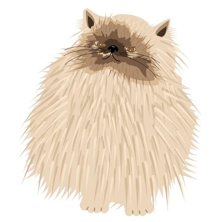 chat persan sur fond blanc