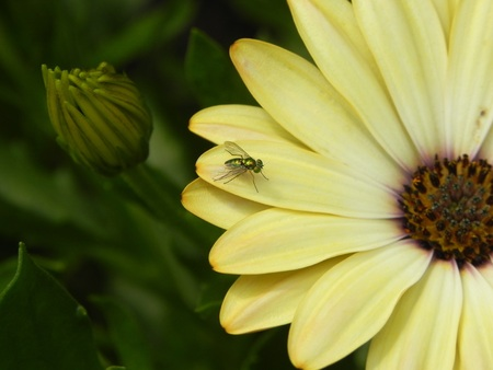 unopened: Metallic green Dolichopodidae  long-legged fly  centered on one pastel yellow gerbera daisy, between an unopened bud and softly blurred flower disk  eye