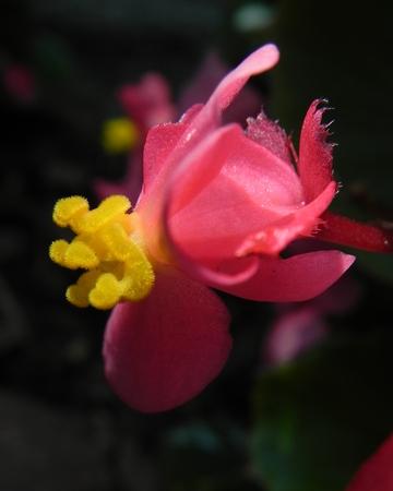 begonia: rosa estigma begonia Foto de archivo