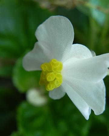 begonia: Begonia de cera estigma