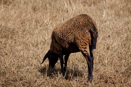 farmyards: A single brown sheep grazing in a field on a sunny day